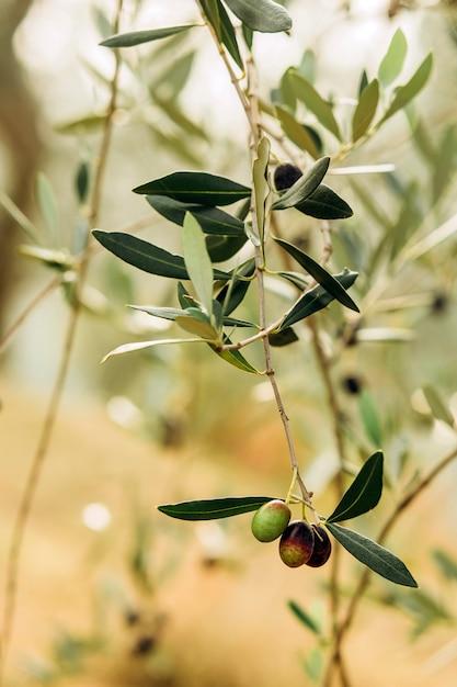 Oliwki Na Gałęzi. Ogród Drzew Oliwnych, śródziemnomorskie Pole Oliwne. Oliwki Na Różnych Etapach Dojrzewania. Nieostrość Tła. Premium Zdjęcia