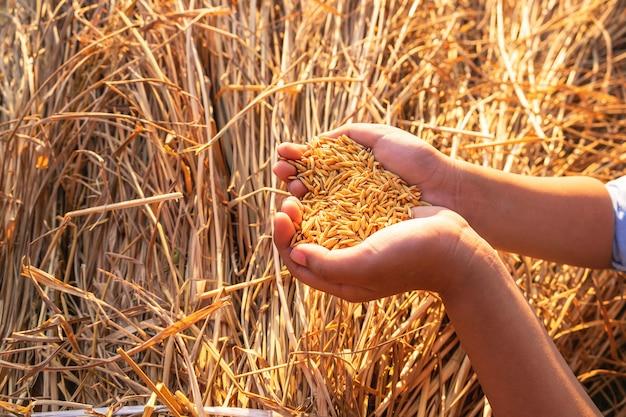 Organiczny Ryż W Rękach Premium Zdjęcia