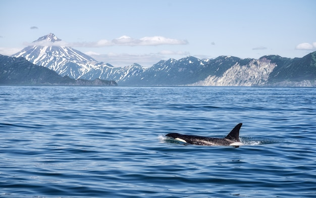 Orka U Wybrzeży Kamczatki W Rosji Premium Zdjęcia