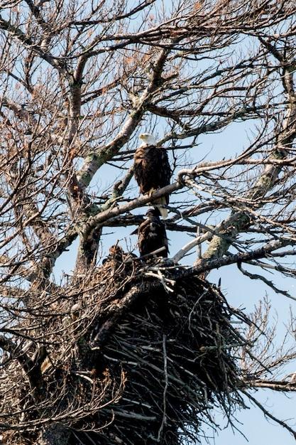 Orły Przysiadły Na Drzewie, Keewatin, Lake Of Woods, Ontario, Kanada Premium Zdjęcia