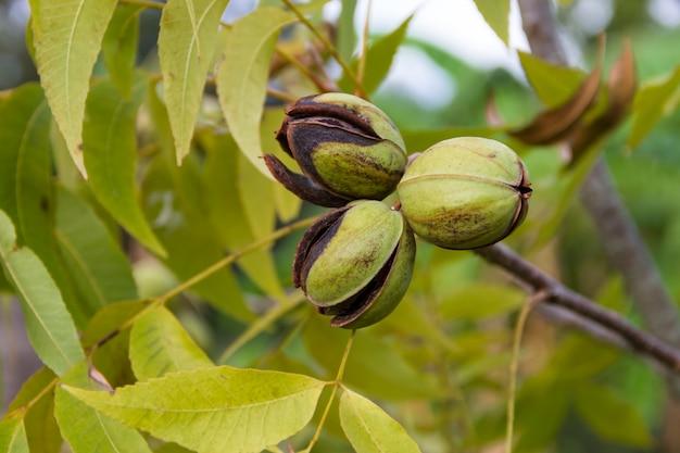 Orzechy Pekan W Ekologicznej Roślin Ogrodowych Premium Zdjęcia
