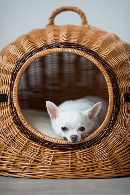 Osamotniony Chihuahua Szczeniak Odpoczywa W łozinowym Psim Domu Premium Zdjęcia