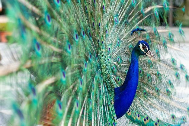 Oszałamiający indyjski męski paw z otwartymi skrzydłami pokazującymi wszystkie swoje niebieskie oczy na zielonym upierzeniu. Premium Zdjęcia