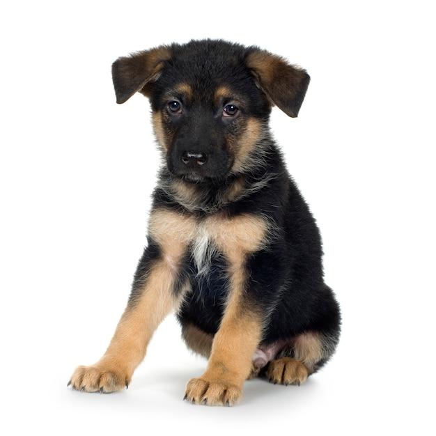 Owczarek Niemiecki (7 Tygodni) Pies Alzacki. Portret Psa Na Białym Tle Premium Zdjęcia