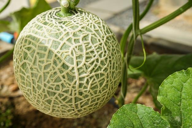 Owoc Melona Na Drzewie Rosnącym W Szklarni Premium Zdjęcia