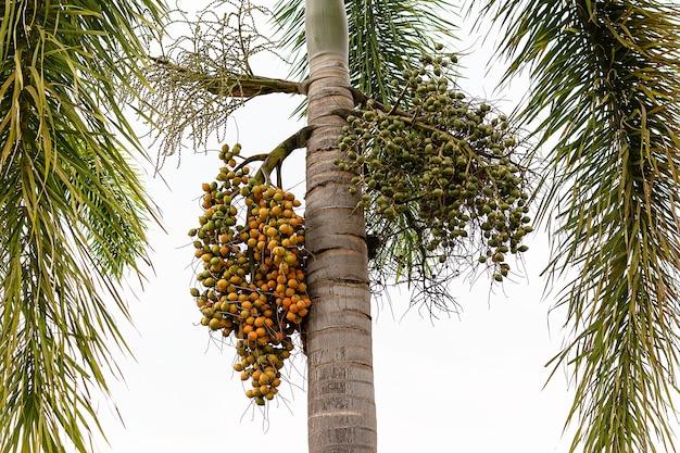 Owoc Palmy - Ozdobne Rośliny Ozdobne W Ogrodach Premium Zdjęcia