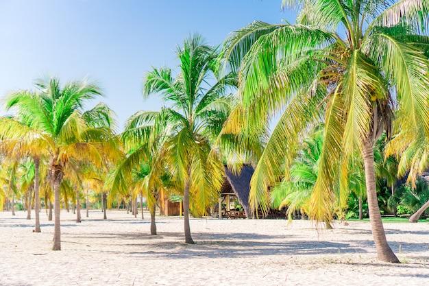 Palmy na białej, piaszczystej plaży. playa sirena. cayo largo. kuba. Premium Zdjęcia
