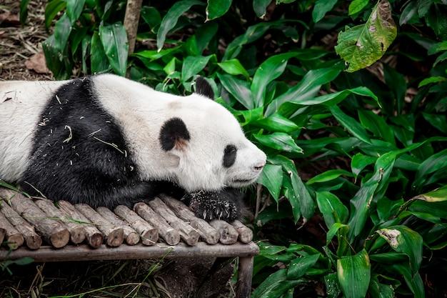 Panda Wielka Premium Zdjęcia