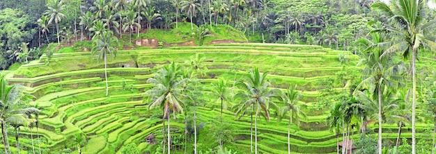Panorama Tegalalang Ryżu Pola Tarasy, Bali, Indonezja Premium Zdjęcia