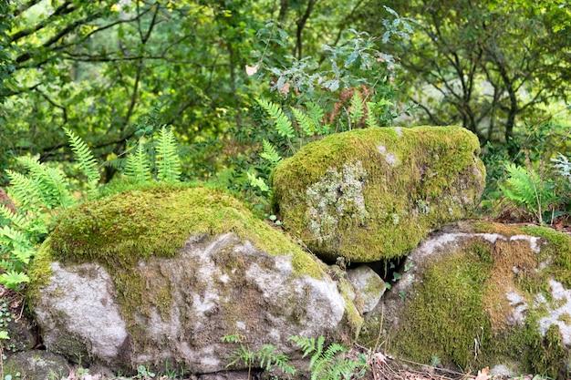Paprocie Rosnące Na Skałach W Lesie. Premium Zdjęcia