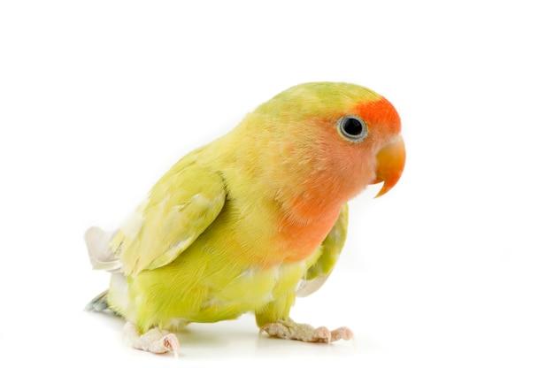 Papuga Na Białym Tle Premium Zdjęcia