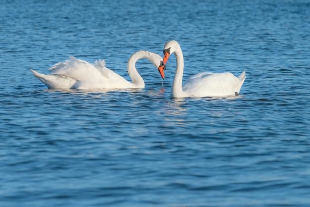 Para Biali łabędź Pływa W Morzu. Ten Strzał Został Zrobiony Na Morzu Bałtyckim Na Wyspie Rugia Premium Zdjęcia
