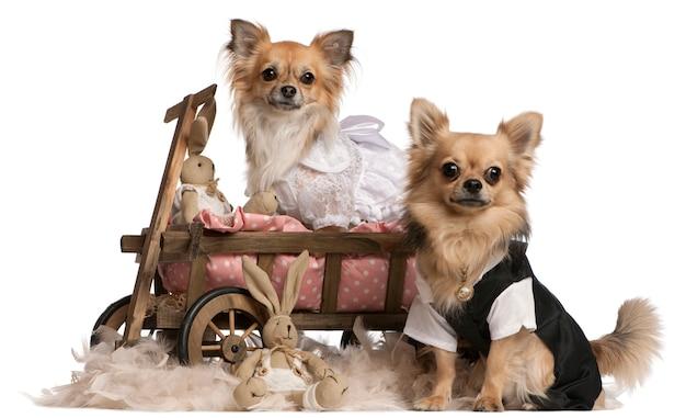 Para Chihuahua, 2 Lata, Ubrana I Siedząca W Wozie Dla Psa Z Wypchanymi Zwierzętami Premium Zdjęcia