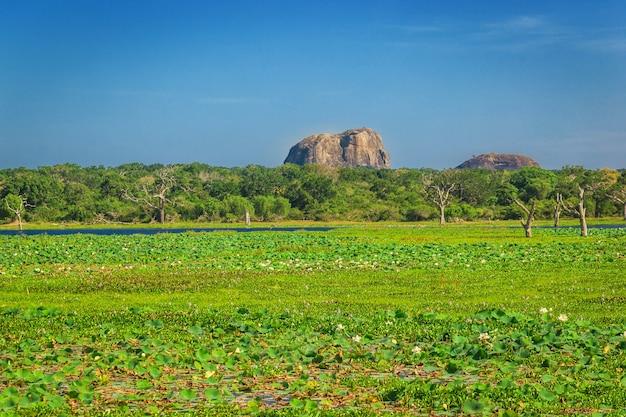 Park Narodowy Yala, Sri Lanka, Azja. Piękna Droga, Jezioro I Stare Drzewa. Las Na Sri Lance, W Tle Duża Kamienna Skała. Letni Dzień Na Pustyni, Wakacje W Azji. Premium Zdjęcia