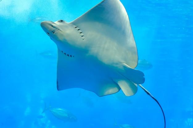 Patrząc przez przezroczyste szklane promienie morskie lub eagle rays pływające w zbiorniku Premium Zdjęcia