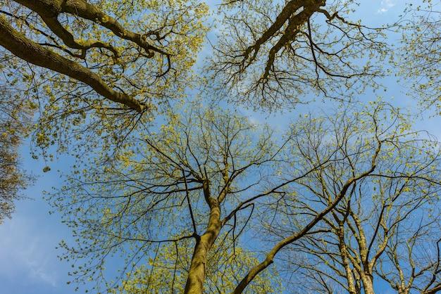 Patrząc W Niebo Przez Wierzchołki Drzew Wiosną, Stribro Premium Zdjęcia