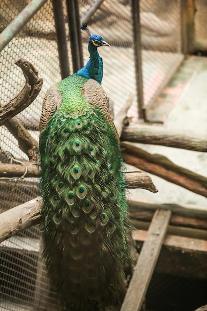 Paw indyjski, duży kolorowy ptak. Premium Zdjęcia