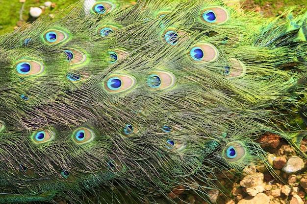 Paw indyk zamknięty ogon kolorowy zielony widok z góry Premium Zdjęcia