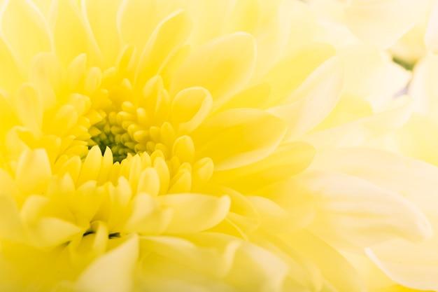 Pełna Rama żółty Gerbera Darmowe Zdjęcia