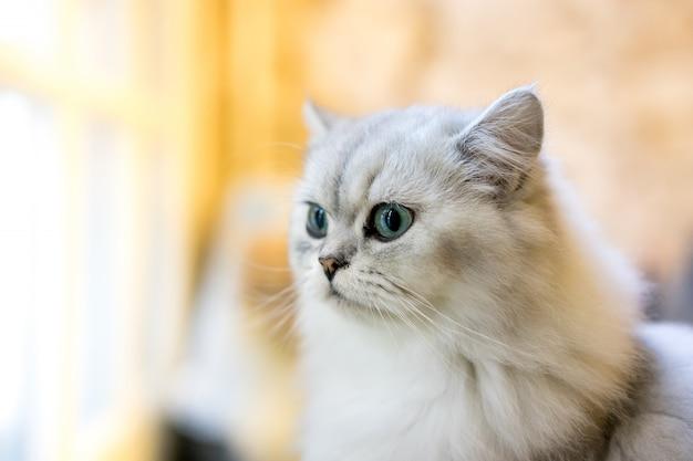 Perski Kot Siedzi W Pokoju Premium Zdjęcia