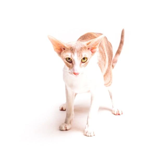 Piękny Posłuszny Cornish Rex Kot Na Białym Tle Zdjęcie Darmowe