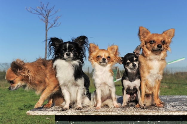Pięć Chihuahua Na Stole Premium Zdjęcia