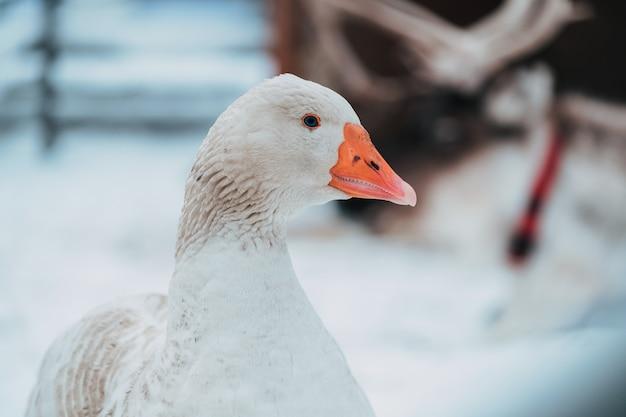 Piękna Biała Gęś Na śniegu, Domowe Obowiązki Domowe Premium Zdjęcia