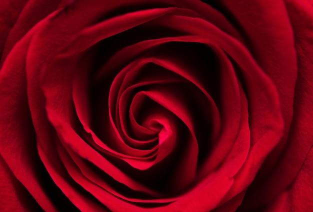 Piękna czerwona róża makro Darmowe Zdjęcia