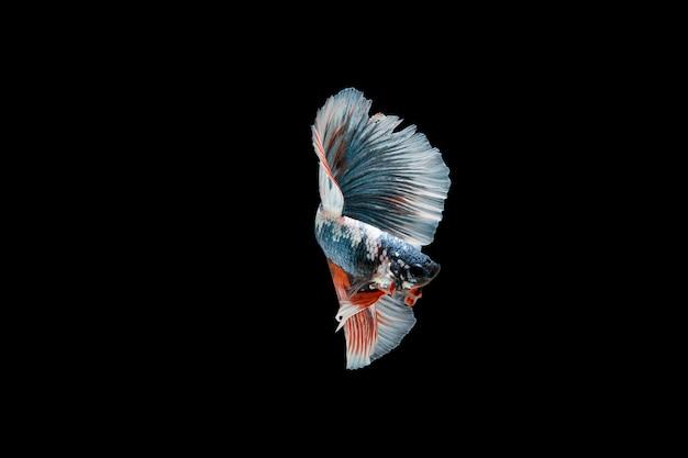 Piękna Kolorowa Ryba Syjamska Betta Darmowe Zdjęcia