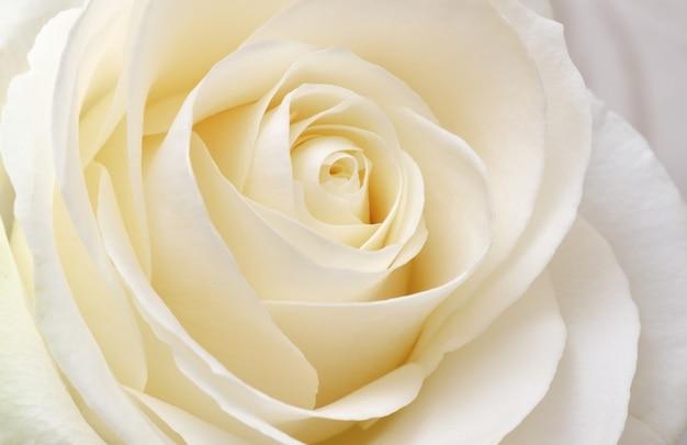 Piękna Miękka, świeża Biała Róża Premium Zdjęcia