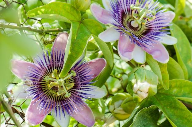 Piękna Passiflora Caerulea. Tropikalny Kwiat Pasji Premium Zdjęcia