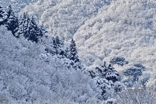 Piękna Sceneria Lasu Z Jodłami Pokrytymi śniegiem Darmowe Zdjęcia