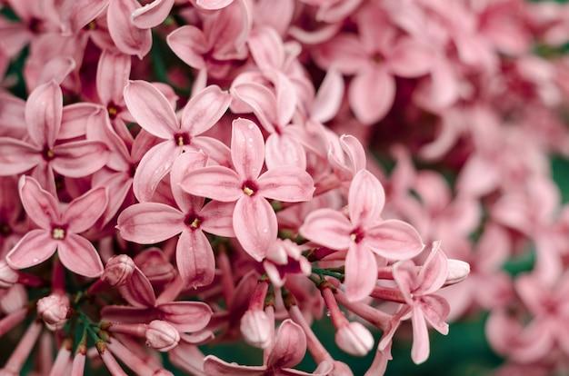 Piękne Fioletowe Kwiaty Bzu. Makro- Fotografia Lili Wiosen Kwiaty. Premium Zdjęcia