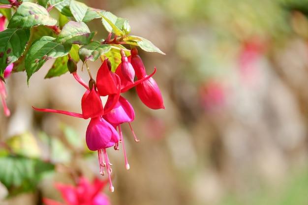 Piękne Kwiaty Fushia Zbliżenie W Ogrodzie Premium Zdjęcia