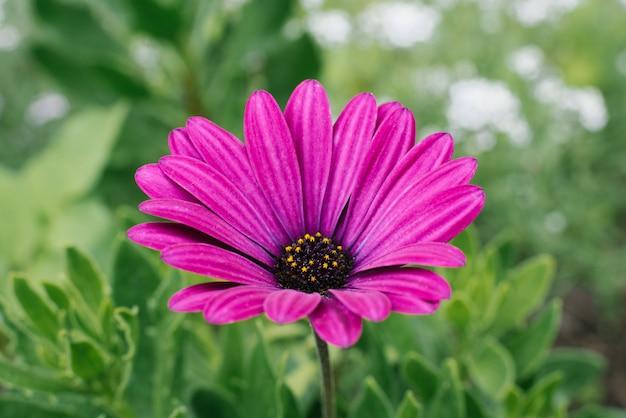 Piękne Kwiaty Piękne Fioletowe Kwiatostany Rosną W Ogrodzie W Lecie. Selektywne Ustawianie Ostrości. Premium Zdjęcia