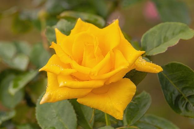 Piękne róże po deszczu Premium Zdjęcia