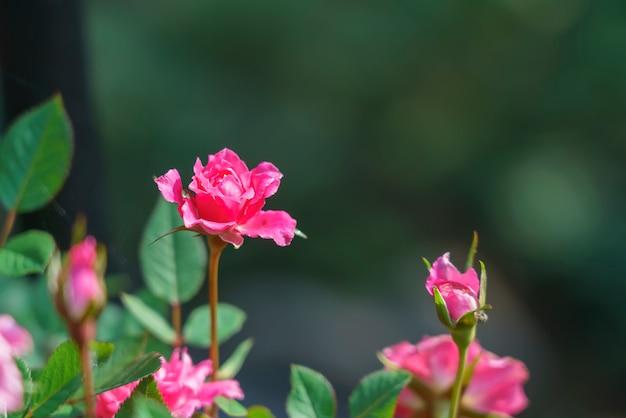 Piękne Różowe Miniaturowe Róże W Ogródzie Z Zielonym Tłem Premium Zdjęcia