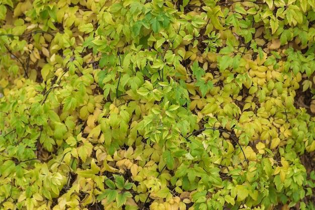 Piękne Tło żółte I Zielone Liście Jesienią. Premium Zdjęcia