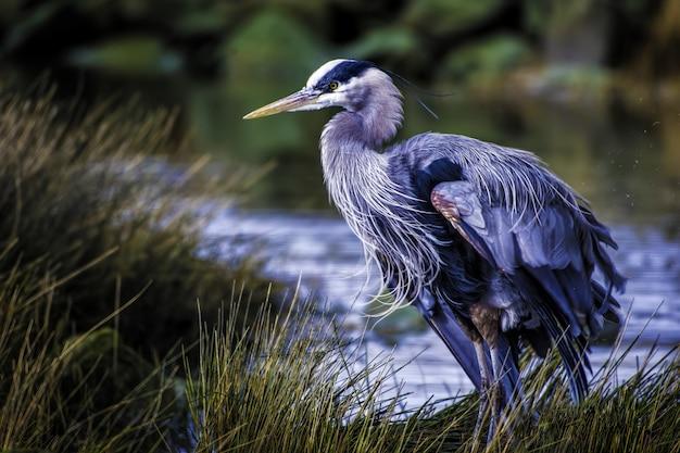 Piękne Ujęcie Czapla Modra Z Kolorowymi Piórami W Pobliżu Jeziora Darmowe Zdjęcia