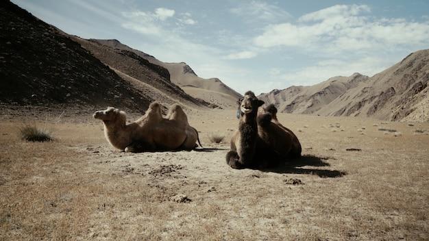 Piękne Ujęcie Dwóch Wielbłądów Siedzących Na Ziemi Na Pustyni Darmowe Zdjęcia