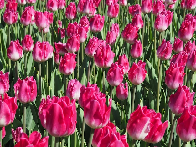 Piękne Ujęcie Hipnotyzujących Roślin Kwitnących Tulipa Sprengeri Na środku Pola Darmowe Zdjęcia