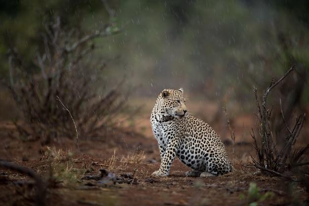 Piękne Ujęcie Lamparta Afrykańskiego Siedzącego Na Ziemi Darmowe Zdjęcia