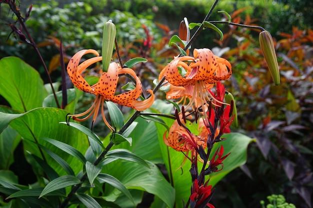 Piękne Ujęcie Lilii Tygrysich W Lesie Otoczonym Różnymi Rodzajami Roślin Darmowe Zdjęcia