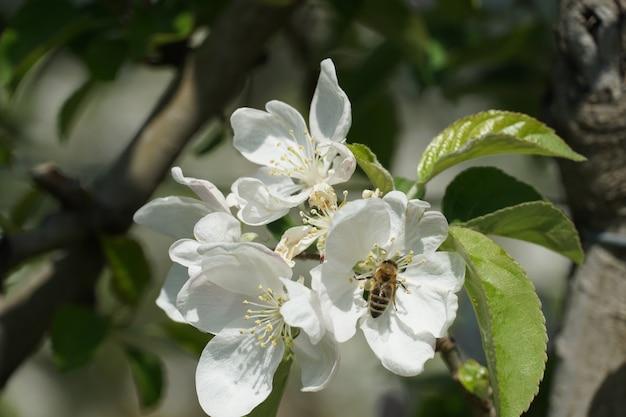 Piękne Ujęcie Pszczoła Miodna Na Biały Kwiat Darmowe Zdjęcia