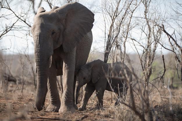 Piękne Ujęcie Słoniątka I Jej Dziecka Idących Razem Darmowe Zdjęcia