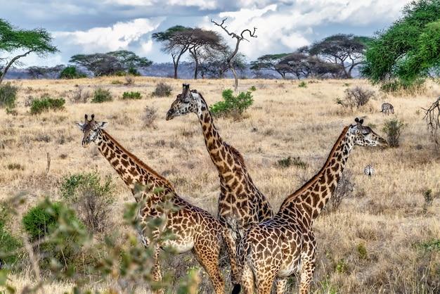 Piękne Ujęcie Trzech Uroczych żyraf W Polu Z Drzewami I Błękitne Niebo Darmowe Zdjęcia
