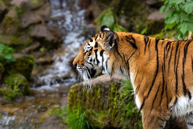 Piękne Ujęcie Tygrysa Stojącego W Lesie W Ciągu Dnia Darmowe Zdjęcia