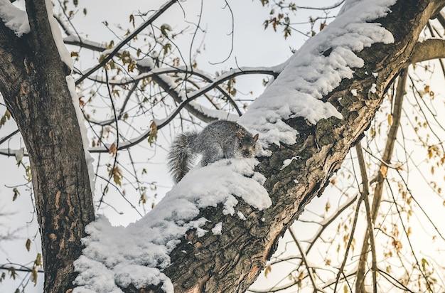 Piękne Zbliżenie Wiewiórki Na śnieżnym Drzewie W Zimie Darmowe Zdjęcia