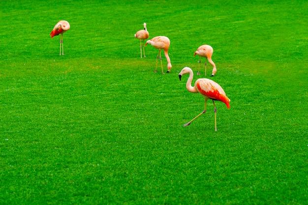 Pięknego Flaminga Grupowy Odprowadzenie Na Trawie W Parku Darmowe Zdjęcia