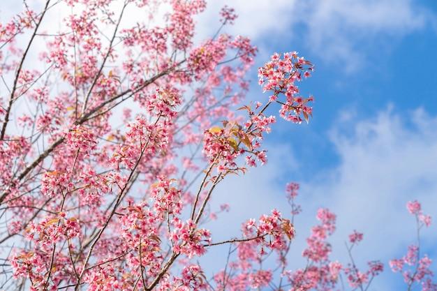 Pięknego Różowego Czereśniowego Prunus Cerasoides Dzika Himalajska Wiśnia Jak Sakusa Kwiatu Kwitnienie Przy Północnym Thailand, Chiang Mai, Tajlandia. Darmowe Zdjęcia